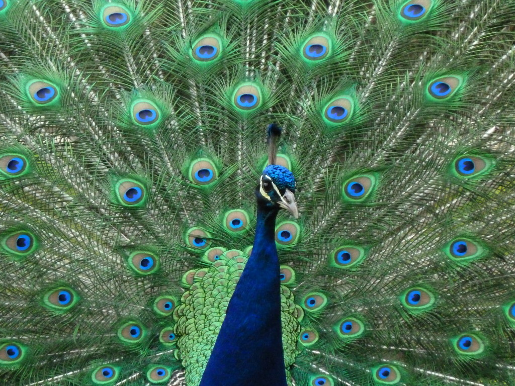 Display an image of a peacock in the south of your home for friendship success feng shui